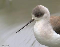 _MG_1651 (miriamdovidio) Tags: uccello volatili bird beccolungo becco animale
