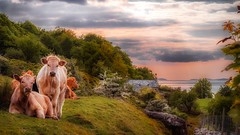 Sit and chill.... (Einir Wyn Leigh) Tags: landscape animals cows nature coast sunlight warm trees sun outside northwales colorful cottage mountain sea horizon nikon beauty sunset glow cymru