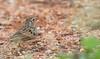 Bushlark...!!! (Srinath P Reddy) Tags: bengaluru karnataka india in indianbushlark bushlark mirafraerythroptera birding birdphotography birdsofindia birds canonef100400mmf4556lisiiusm canon canon5dmkiv 5dmkiv canonphotography photography nature naturephotography