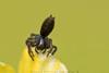 Araña nN (Claudio González R.) Tags: macro micro spider araña arana tokina 100mm dof oneshot difuser diy extensor tubos d750 nikon wildlife fieldphoto