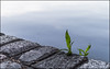 entre tanta piedra ...   /   among stones (pilaraf14) Tags: pdc dof lago lake stones piedras verde green minimalismo minimalism
