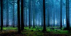 ein wenig nebel am niederrhein (st.weber71) Tags: nikon nrw niederrhein natur d800 deutschland germany wald waldboden outdoor bäume nebel rheinland romantik tannen ruhrgebiet moos