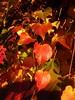 P1100060 Herbst (Traud) Tags: deutschland bayern gemany bavaria herbst autumn fall leaves blätter herbstblätter
