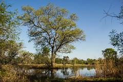 Seasonal pan (zimbart) Tags: gorongosanationalpark mozambique africa tree trees flora myrtales combretaceae combretum combretumimberbe angiosperms water