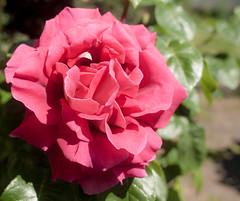 20171024_5514_1D3-24 Red Rose (johnstewartnz) Tags: rose redrose canon canonapsh eos 1dmarkiii 1d3 1dmark3 24mm sigma24mm flower unlimitedphotos yabbadabbadoo yabbadabadoo