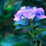 Lilac thumbnail