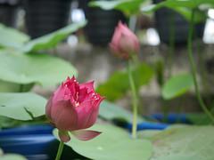 Nelumbo nucifera 'Russell' Wahgarden Thailand 4 (Klong15 Waterlily) Tags: russell nelumbo sacredlotus lotus lotusflower flower landscape wahgarden