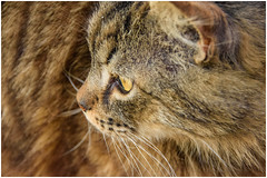Happy Halloween ... miaooo ... (miriam ulivi OFF /ON) Tags: miriamulivi nikond7200 gatto cat pet nature 7dwf