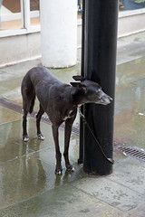 Tied to a post (jimj0will) Tags: wet dog tied unkind waiting loyal patient cold