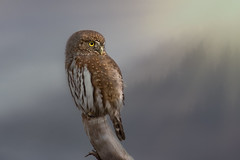 Pygmy Mountain (Melanie Leeson) Tags: northernpygmyowl birdsofcanada owls birdsofbritishcolumbia melanieleesonwildlifephotography blingsister birdsofnorthamerica birds httpswwwmelanieleesonphotographycom melanieleesonphotographycom