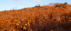 combination of ideas (JonathanCohen) Tags: hume goldenmountain goldenhour gold afternoonwalk fall autumn sunset natureycrap california