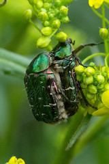Gemeiner Rosenkäfer (planetvielfalt) Tags: cetoninae coleoptera polyphaga scarabaeidae scarabaeiformia jena thüringen deutschland