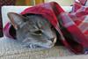 Millie 22 October 2017 6798Ri 4x6 (edgarandron - Busy!) Tags: cat cats kitty kitties tabby tabbies cute feline millie graytabby