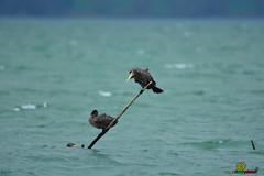 a_LUR_0548 (OrNeSsInA) Tags: aironi byrd uccelli natura airon cormorani folaghe trasimeno lago umbria lucarosi toscana passignano montedellago perugia insetti farfalle nikon tamron chiusi pesca tuoro castiglionedellago