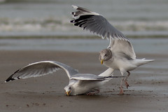 Fight for food (Marie-Baeten) Tags: seagull seagulls gull sea nature wildlife bird birds canon 70d f20 85mm 14000 iso100 fight motion action beach sand water waves food wild amazing feathers white blue grey gray black animal animals photo belgium fly brown yellow november flanders coast upper boss wings photomarathon artevelde ocean