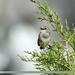 White-tailed Rubythroat (Luscinia pectoralis)