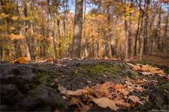 Photo d'automne - la mousse (StefDenis) Tags: automne grandparcsetespacepublique hdriassembler parcdumontroyal paysage photostypedetraitement montréal québec canada ca