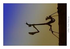 Empuse commune juvénile (Diablotin) (Pascale Ménétrier Delalandre) Tags: empusecommune empusapennata diablotin insecte empusidae ptérygota animal animalia faune gard france canoneos70d canonef100mmf28lmacroisusm pascaleménétrierdelalandre ngg