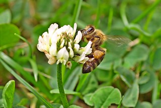 A honey bee working on white clover.