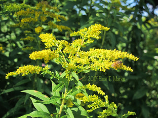 Goldenrod & A Bee