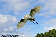 Barn Owl (CJT29(back to the rat race)) Tags: bird birdsofprey birdofpreycentre bedfordshire captive falconry birdinflight cjt29 outdoors barnowl tytoalba
