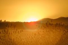 Teasel at Sunset 3646 C (jim.choate59 (away)) Tags: oregon coastalmountainrange sunset lensflare bright golden corvallis summer jchoate d610 on1pics