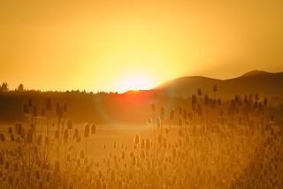 Teasel at Sunset 3646 C