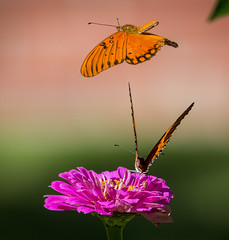 Here Comes Trouble (sethjschubert) Tags: wildlife butterfly blossom flower gulffritillary bloom zinnia insect nature macro agraulisvanillae moore ok