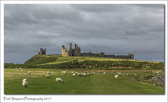 Dunstanburgh Castle (Paul Simpson Photography) Tags: northumberland paulsimpsonphotography northeast england uk dunstanburghcastle coastal seaside sheep farm history historic building ruin defence defense castle britian natonaltrust englishheritagesite coastalpath greysky sonya77 imageof imagesof photoof photosof old placestovisit inengland landscape landscapephotography field farmland grass animal nature animals farmanimals europe castles historiccastles
