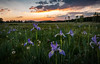 Field Of Color (Timothy Earl) Tags: iris irises arizona whitemountains greenspeak wildirises