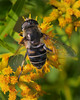 Eristalis Syrphid Fly (milesizz) Tags: diptera milwaukee wisconsin wi eristalis eoseristalis eristalisdimidiata eristalini aschiza syrphidae syrphidflies eristalinae