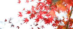 Simply Red (Wilson Au | 一期一会) Tags: kagoshima japan canon eos5dmarkiii ef70200mmf4lisusm 日本 紅葉 鹿児島 autumn redleaves