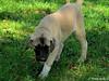 human dog mm