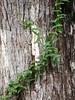 Passiflora sp (Mabelín Santos) Tags: passiflora passionfruit maracujá vine passionfruitvine passionvine bark oldtree panama panamacity caoba caobatreebark swieteniamacrophylla