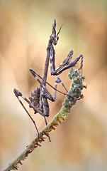 Ninfa otoñal (Chusmaki) Tags: empusa penata mantis otoño rivas omd1 60mm