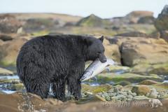 Silver Salmon (PamsWildImages) Tags: black bear nature wildlife cnada bc vancouver island pamswildimages pammullins salmon fish
