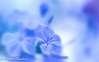 Autumn Reflexion (II) (frederic.gombert) Tags: plumbago flower flowers light color sun sunlight sky plant garden autumn colored macro nikon allfreepicturesnovember2017challenge