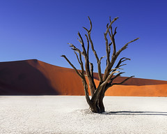 Dead Acacia Trees and Red Dunes of Deadvlei in Namib-Naukluft Park, Namibia (ansharphoto) Tags: africa acacia african arid beautiful blue branch camelthorn clay day daylight dead deadvlei desert drought dry dune famous forest hot lake landmark landscape morning namib namibia namibian national nature naukluft orange outdoor pan park red sand scenery shadow sky sossusvlei sunlight tourism travel tree view vlei white wild wilderness wood