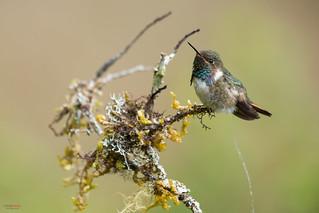 Volcano Hummingbird (Selasphorus flammula) male peeing