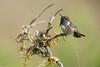 Volcano Hummingbird (Selasphorus flammula) male peeing (Chris Jimenez Nature Photo) Tags: fulllenght birding endemic pee nature chrisjimenez peeing leastconcern sideview tiny cerrodelamuerte small colibrie wildlife costarica bird sangerardodedota colibri volcanohummingbird hummingbird selasphorusflammula centralamerica