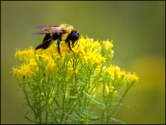 BIG BAD BUMBLEBEE (photogtom43) Tags: nikond5500 sigma150600lens bee bumblebee goldenrod outdoors floridastateparks standrewsstatepark florida panamacitybeach baycounty