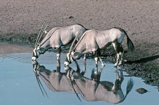 1565-NAMIBIE 170R Gemsbok (Oryx gazella)