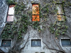 Morning Light (navejo) Tags: montreal quebec canada downtown mcgill windows wall ivy light