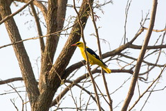 The Indian Golden Oriole (SujithPhotography) Tags: bird yellow oriole mangomistresort bengaluru nature travel
