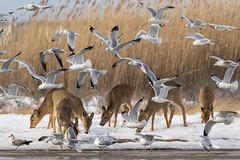 Feeding Frenzy (djrocks66) Tags: animals wildlife nature deer seagulls winter snow outdoors ny long island landscape art birds