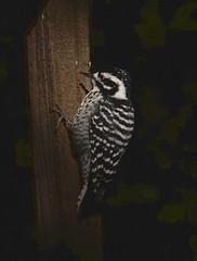 Nuttal's woodpecker (Picoides nuttallii) (dzittin) Tags: picoides nuttallii nuttals woodpecker female bird