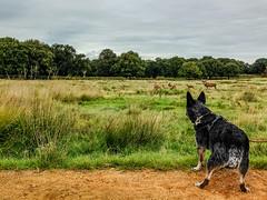 20170920-IMG_5348 Keeping a respectful distance (susi luard 2012) Tags: australian esslinger rupert tw10 cattle deer dog grass london park plane richmond sky uk