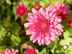 Sun Tipped Mum (starmist1) Tags: mum crysanthemum frontyard maggiesgarden flowergarden autumn fall october