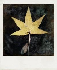 Fallen star. (jeanne.marie.) Tags: 100x2017 patternsinnature blackgum iphone7plus iphoneography autumn leaf star