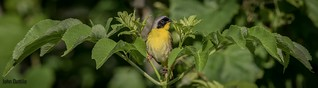 A Common Yellowthroat alerts to my approach at Muscatatuck NWR
